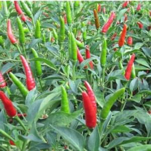 fresh chili pepper VIETNAM 4