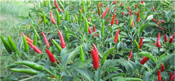 fresh chili pepper VIETNAM 4